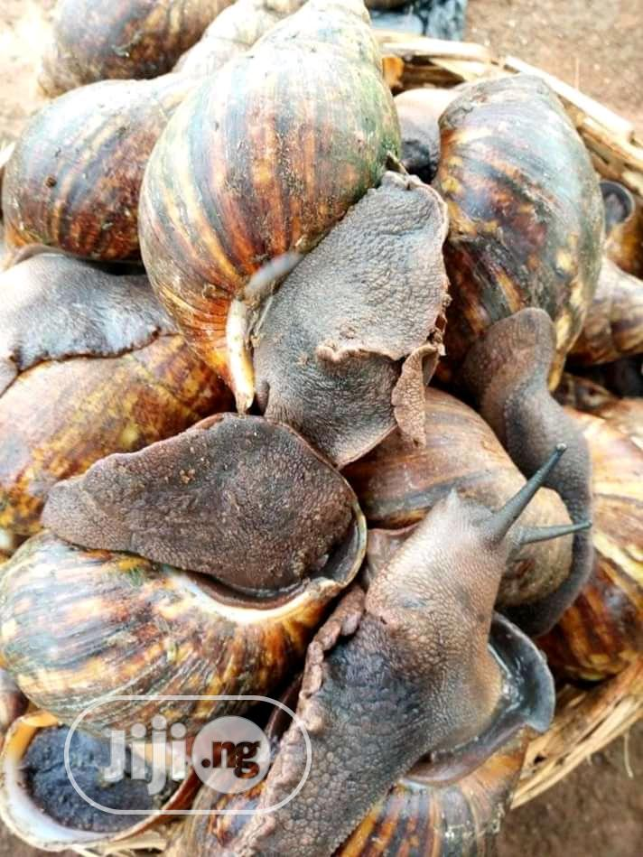 Healthy Snails Are Sold Here In Our Farm | Other Animals for sale in Ado-Odo/Ota, Ogun State, Nigeria