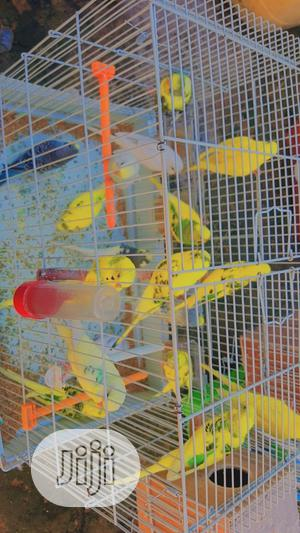Budgie Parrot For Sale | Birds for sale in Lagos State, Alimosho