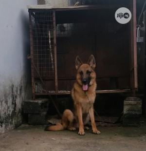 1+ year Male Purebred German Shepherd | Dogs & Puppies for sale in Abuja (FCT) State, Lugbe District