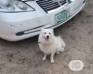 1+ year Male Purebred American Eskimo | Dogs & Puppies for sale in Delta State, Warri