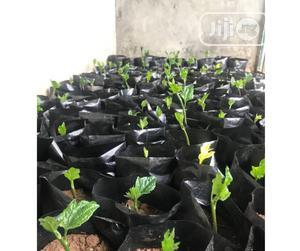 Ugu Seedlings   Feeds, Supplements & Seeds for sale in Lagos State, Ikotun/Igando