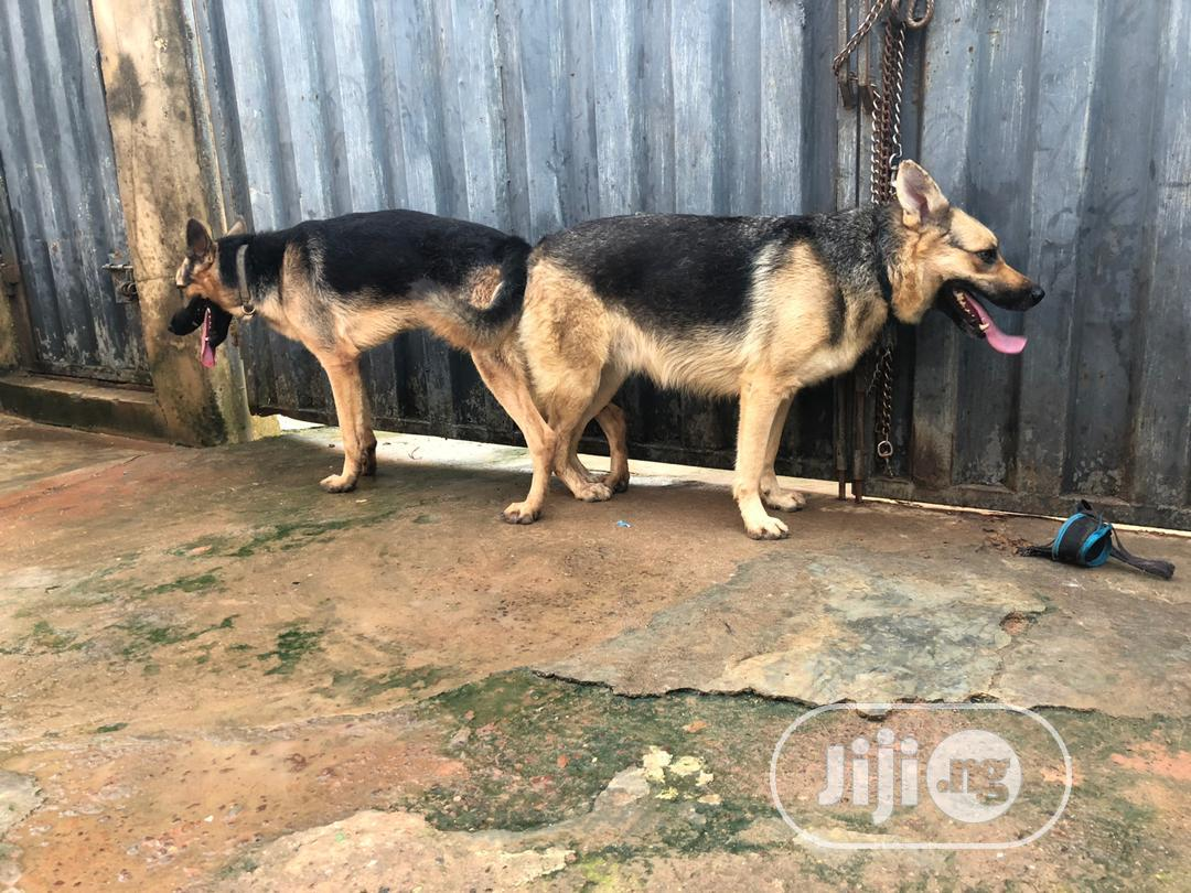 1-3 month Female Purebred German Shepherd | Dogs & Puppies for sale in Abule Egba, Lagos State, Nigeria