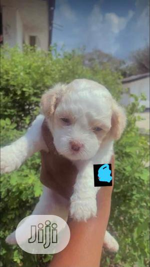 1-3 Month Female Purebred Lhasa Apso | Dogs & Puppies for sale in Lagos State, Abule Egba