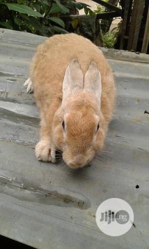 Pure Panomeno Rabbit Breed For Sell   Livestock & Poultry for sale in Osun State, Osogbo