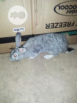 Pure American Chinchilla Rabbit Breed   Livestock & Poultry for sale in Osun State, Osogbo
