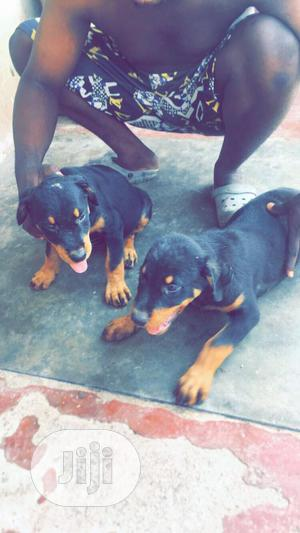 3-6 Month Male Purebred Rottweiler | Dogs & Puppies for sale in Osun State, Iwo