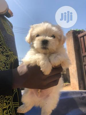1-3 Month Male Purebred Lhasa Apso | Dogs & Puppies for sale in Rivers State, Port-Harcourt