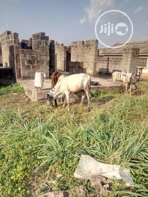 Fulani Cow   Livestock & Poultry for sale in Lagos State, Agege