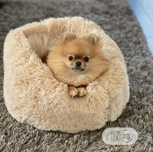 1-3 Month Male Purebred Pomeranian   Dogs & Puppies for sale in Abuja (FCT) State, Gwarinpa