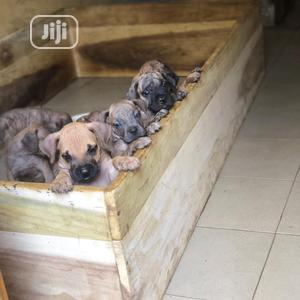 1-3 month Female Purebred Boerboel | Dogs & Puppies for sale in Lagos State, Abule Egba