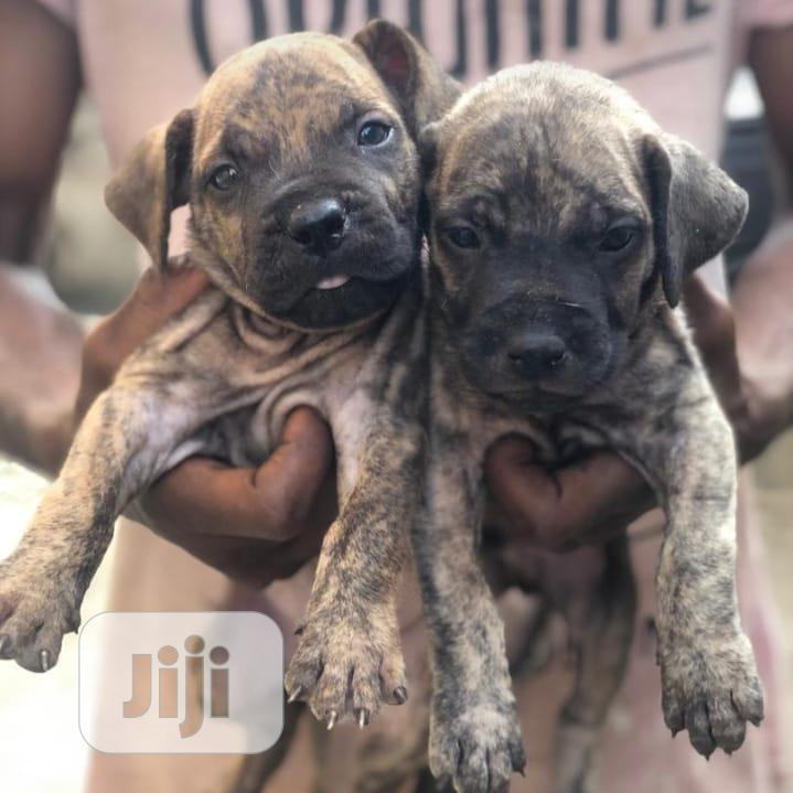 1-3 month Female Purebred Boerboel | Dogs & Puppies for sale in Abule Egba, Lagos State, Nigeria