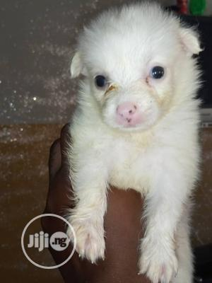 1-3 month Female Purebred American Eskimo | Dogs & Puppies for sale in Lagos State, Ojodu