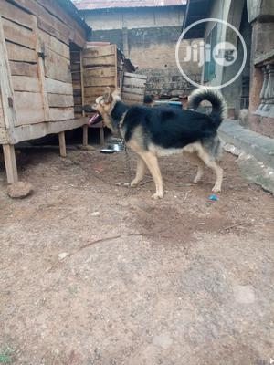 1+ year Male Purebred German Shepherd   Dogs & Puppies for sale in Oyo State, Ibadan