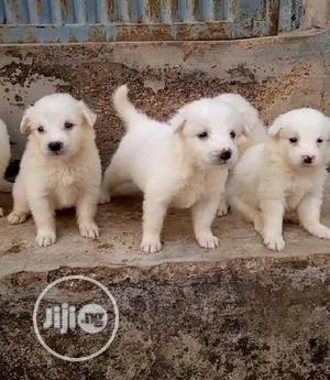 1-3 Month Female Purebred American Eskimo | Dogs & Puppies for sale in Lagos State, Alimosho