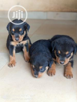 1-3 month Male Purebred Rottweiler | Dogs & Puppies for sale in Kwara State, Ilorin South