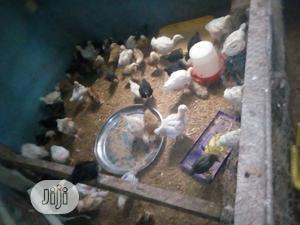 Broiler And Noiler. | Livestock & Poultry for sale in Ogun State, Abeokuta North