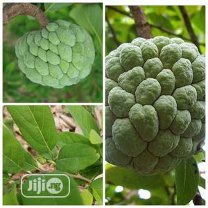 Sugar Apple Or Sweetsop Seedling | Feeds, Supplements & Seeds for sale in Oyo State, Ibadan