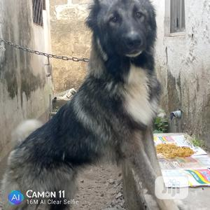 1+ year Male Purebred Caucasian Shepherd | Dogs & Puppies for sale in Abuja (FCT) State, Gwagwalada