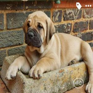1-3 month Male Purebred Boerboel | Dogs & Puppies for sale in Lagos State, Ejigbo