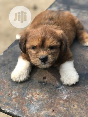 0-1 month Male Purebred Lhasa Apso | Dogs & Puppies for sale in Lagos State, Ikoyi