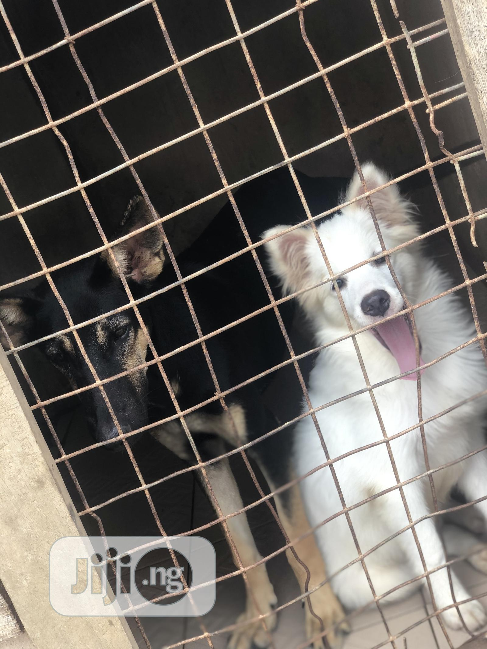 1-3 Month Female Purebred American Eskimo | Dogs & Puppies for sale in Ibadan, Oyo State, Nigeria
