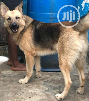 Male GSD Available for Stud Service/Crossing   Pet Services for sale in Lagos State, Ogba