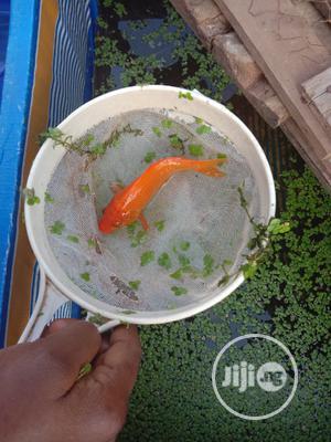 Orange Japanese Koi Carps | Fish for sale in Oyo State, Ibadan