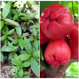 Hybrid Bell Apple Seedling | Feeds, Supplements & Seeds for sale in Oyo State, Ibadan