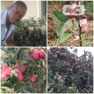 Grafted Hybrid Wambugu Apple Seedling | Feeds, Supplements & Seeds for sale in Oyo State, Ibadan