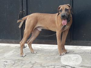6-12 Month Male Purebred Boerboel | Dogs & Puppies for sale in Lagos State, Ifako-Ijaiye