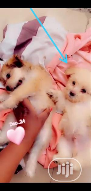 3-6 Month Male Purebred Lhasa Apso   Dogs & Puppies for sale in Abuja (FCT) State, Kubwa