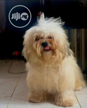 1+ Year Male Purebred Lhasa Apso | Dogs & Puppies for sale in Edo State, Benin City