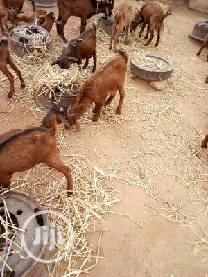 Good Breeds Goat ( Musoro and Itu) Etc   Livestock & Poultry for sale in Osun State, Osogbo