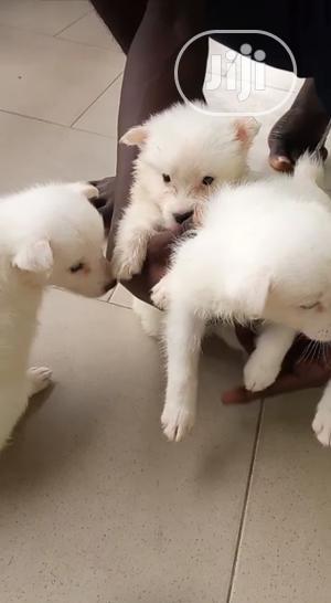 3-6 Month Female Purebred American Eskimo | Dogs & Puppies for sale in Lagos State, Amuwo-Odofin