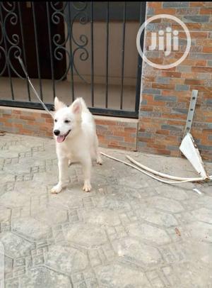 3-6 Month Female Purebred American Eskimo | Dogs & Puppies for sale in Ekiti State, Ado Ekiti