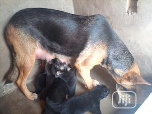 1-3 Month Female Purebred German Shepherd   Dogs & Puppies for sale in Ogun State, Ifo