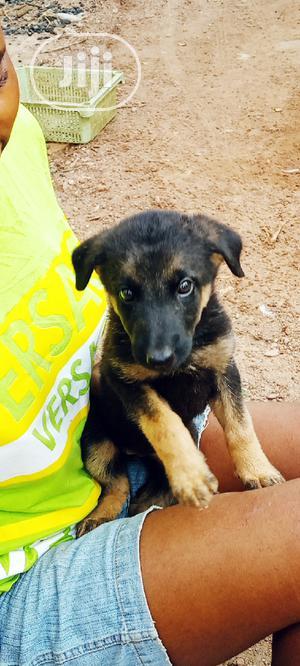 1-3 month Female Purebred German Shepherd | Dogs & Puppies for sale in Ekiti State, Ado Ekiti