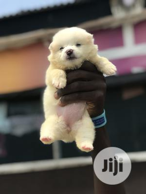 1-3 month Female Purebred American Eskimo | Dogs & Puppies for sale in Lagos State, Ikeja