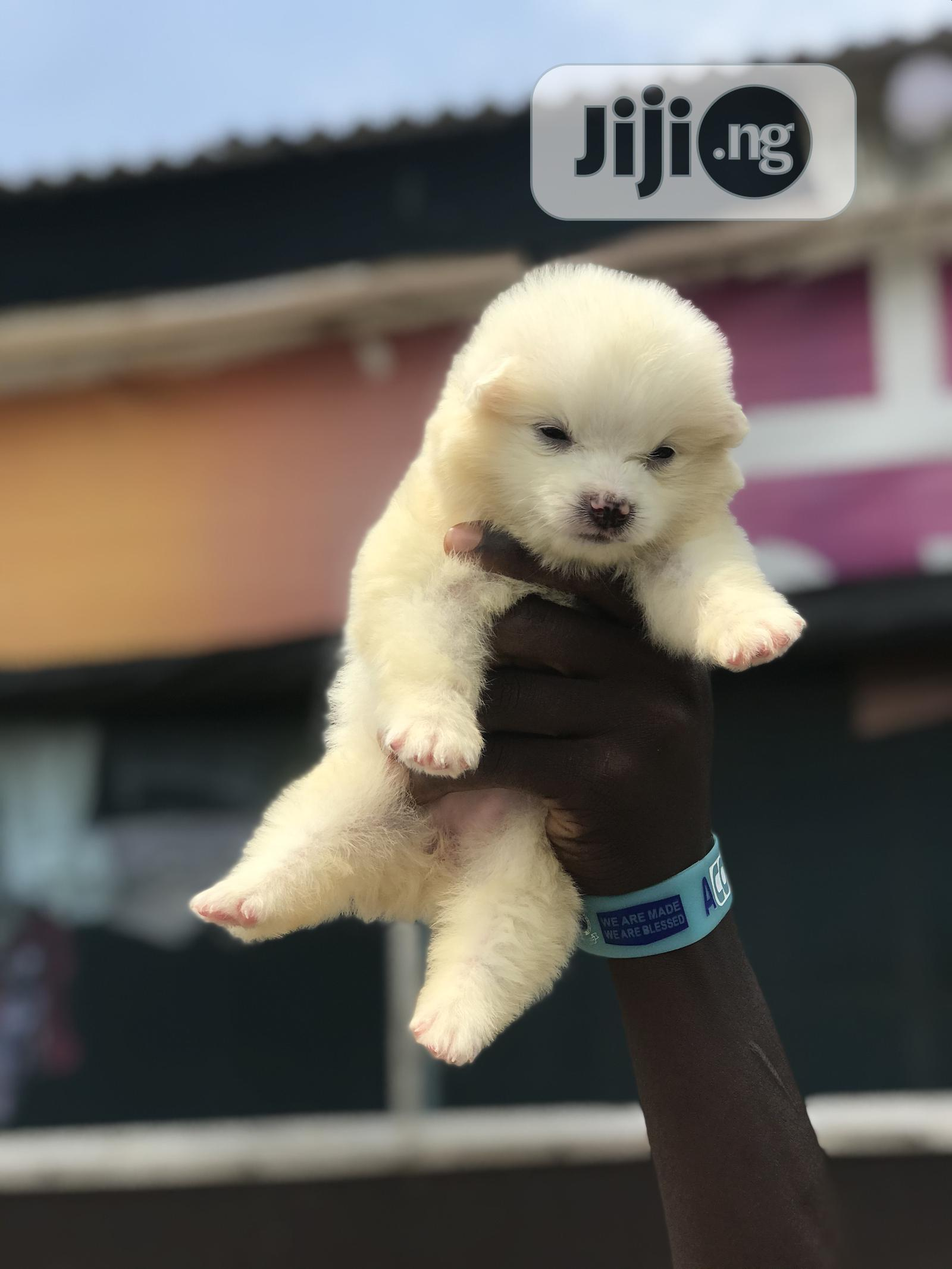 1-3 month Female Purebred American Eskimo   Dogs & Puppies for sale in Ikeja, Lagos State, Nigeria