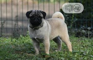3-6 Month Female Purebred Pug | Dogs & Puppies for sale in Lagos State, Ikoyi