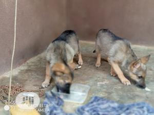 1-3 month Female Purebred German Shepherd | Dogs & Puppies for sale in Kwara State, Ilorin South