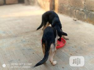 3-6 month Female Purebred German Shepherd   Dogs & Puppies for sale in Kwara State, Ilorin South