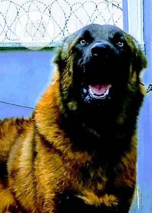 1+ Year Male Purebred Caucasian Shepherd | Dogs & Puppies for sale in Delta State, Oshimili South
