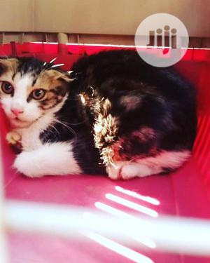 1-3 Month Male Purebred Scottish Fold | Cats & Kittens for sale in Lagos State, Victoria Island