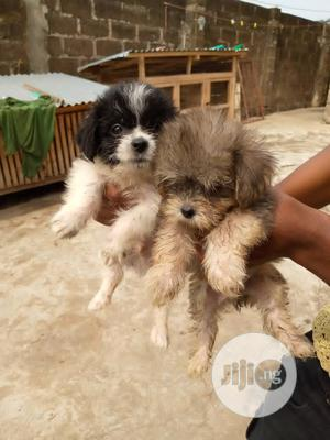 1-3 month Male Purebred Lhasa Apso | Dogs & Puppies for sale in Lagos State, Ojodu