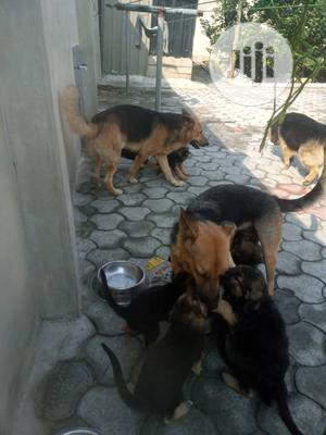 3-6 Month Female Purebred German Shepherd   Dogs & Puppies for sale in Rivers State, Port-Harcourt