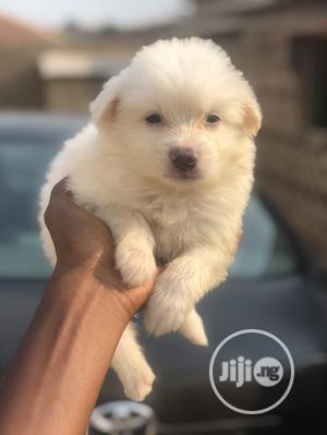 1-3 Month Male Purebred American Eskimo | Dogs & Puppies for sale in Oyo State, Ibadan