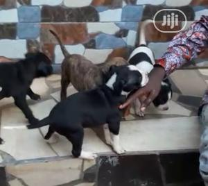 1-3 Month Male Purebred American Pit Bull Terrier   Dogs & Puppies for sale in Edo State, Benin City
