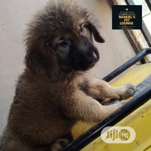 1-3 Month Male Purebred Caucasian Shepherd | Dogs & Puppies for sale in Lagos State, Agege