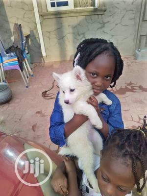 1-3 Month Female Purebred American Eskimo   Dogs & Puppies for sale in Lagos State, Ikeja